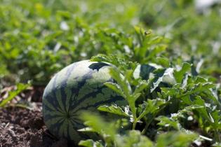 Gelbe Wassermelone
