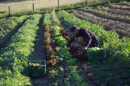 Max beim Ernten der Pflücksalate