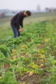 Grünkohl NACH dem Beernten. Die oberen Blätter lässt man stehen, damit sie noch weiter wachsen können. So ist Grünkohl nahezu den ganzen Winter über beerntbar!