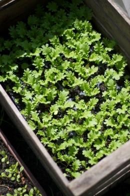 Salat-Jungpflanzen