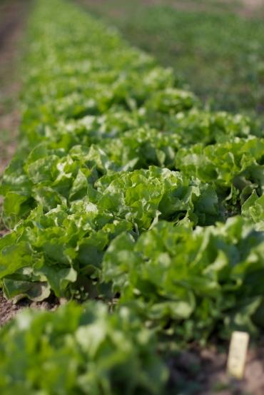 Häuptel-Salat