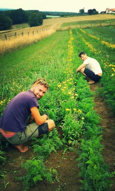 Feldtag Karotten