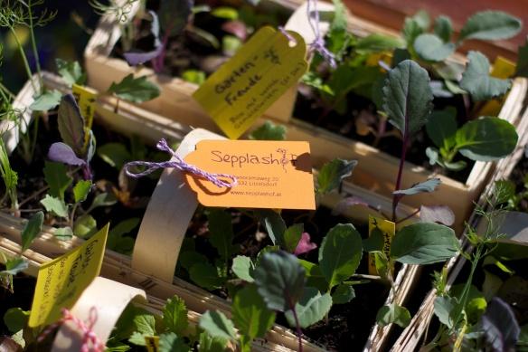 Gemuesepflanzen vom Sepplashof