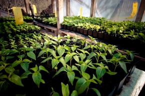 Paprikapflanzen