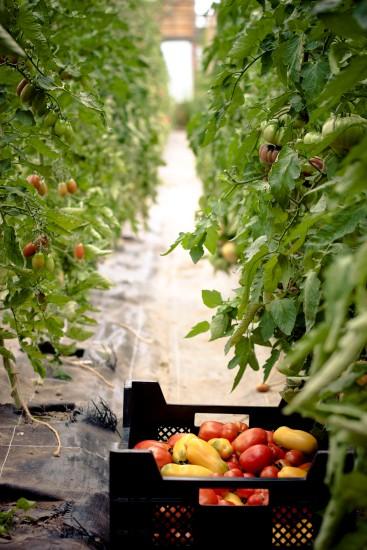 Tomatenvielfalt